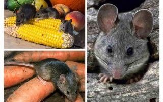 Làm thế nào để đối phó với những con chuột trong nước và các trang web