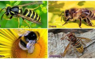 Sự khác biệt giữa ong, ong, ong, hornet là gì