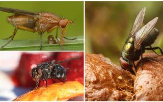 Những gì ruồi ăn