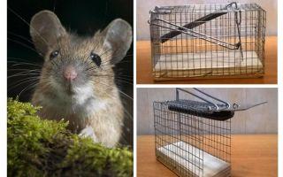 Lồng chuột