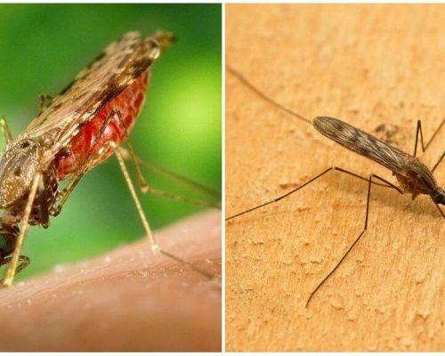 Muỗi sốt rét trông như thế nào và nguy hiểm như thế nào đối với con người