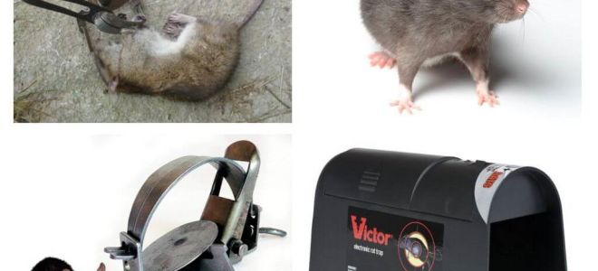 Bẫy cho chuột