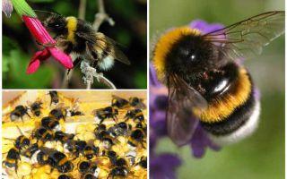 Mô tả và hình ảnh của trái đất ong