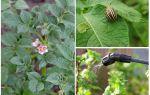 Có thể chế biến khoai tây từ bọ cánh cứng Colorado trong khi ra hoa không