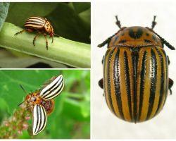 Con bọ cánh cứng Colorado trông như thế nào?