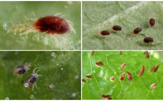 Mô tả và hình ảnh nhện mite