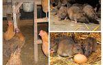 Làm thế nào để đối phó với những con chuột trong nhà hen