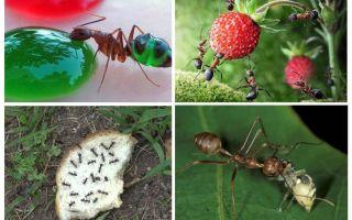 Những con kiến ăn trong tự nhiên
