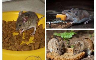 Những gì mồi để đặt trong một cái bẫy chuột
