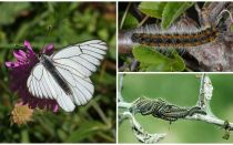 Mô tả và hình ảnh của con sâu bướm và bướm Hawthorn làm thế nào để chiến đấu