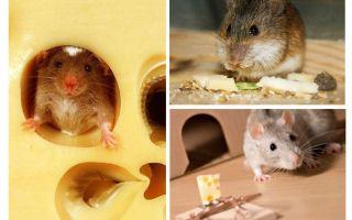 Chuột ăn phô mai hay không