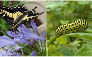 Biến một con sâu bướm thành một con bướm