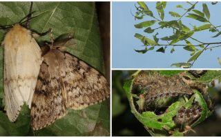 Mô tả và hình ảnh của con sâu bướm của Gypsy Moth