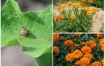 Cách bảo vệ và bảo vệ cà tím khỏi bọ khoai tây Colorado