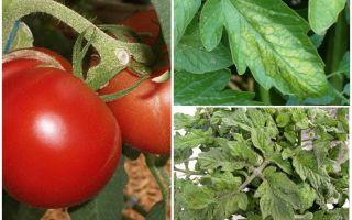 Rệp trên cà chua - những gì để xử lý và làm thế nào để chiến đấu