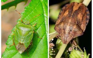 Cho dù homebugs hoặc bedbugs mùi