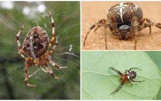 Crusader Spider Mô tả và hình ảnh