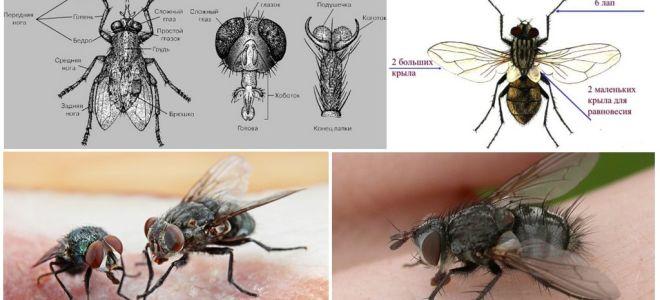 Cấu trúc của ruồi