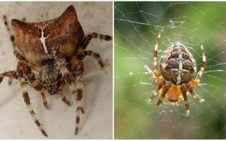 Spider jog: ảnh và hiệu ứng sau khi cắn