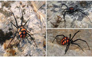 Mô tả và hình ảnh của nhện nhện Kazakhstan
