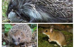 Hedgehogs ăn chuột