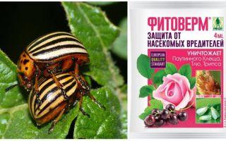 Làm thế nào để sinh sản Phytoverm từ bọ khoai tây Colorado