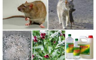Làm thế nào để loại bỏ chuột khỏi các biện pháp dân gian chuồng