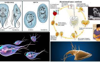 Vòng đời của Giardia và điều trị u nang