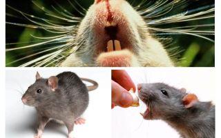 Rat squeak