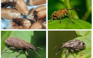 Beetle weevil và ấu trùng của nó