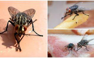 Tại sao ruồi chà bàn chân của họ