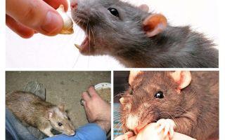 Phải làm gì nếu một chút chuột