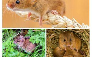 Con chuột sống ở đâu
