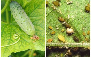 Điều gì và làm thế nào để đối phó với rệp trên dưa chuột trong nhà kính và lĩnh vực mở