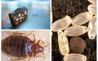 Tại sao các rệp bị nhiễm khuẩn trong một căn hộ hoặc nhà