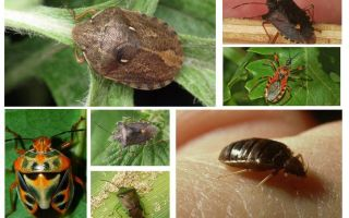 Các loại và giống của rệp