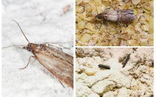 Tại sao và phải làm gì, nếu nốt ruồi bắt đầu trong ngũ cốc