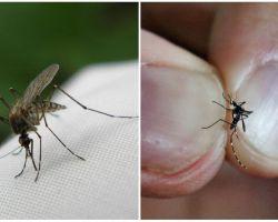 Làm thế nào để sinh sản và bao nhiêu con muỗi sống