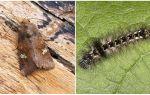 Mô tả và hình ảnh của bướm và sâu bướm muỗng làm thế nào để chiến đấu