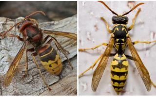 Mô tả và hình ảnh của hornets