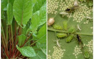 Làm thế nào để thoát khỏi rầy mềm trên cây me chua