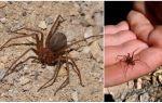 Brown ẩn sĩ nhện