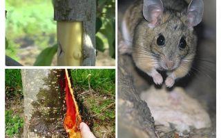 Làm thế nào để tiết kiệm cây táo, nếu vỏ chuột nabbed