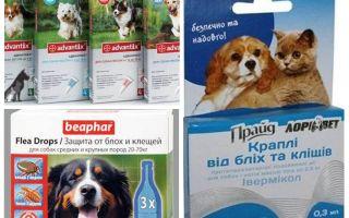 Bọ chét và đánh dấu các biện pháp khắc phục cho chó