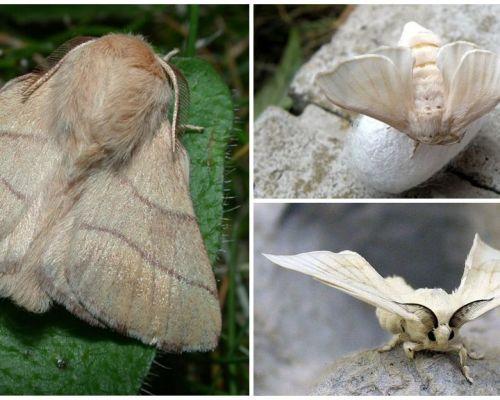 Mô tả và hình ảnh của sâu bướm và bướm tằm