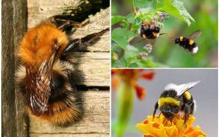 Làm thế nào để loại bỏ bumblebees từ nhà