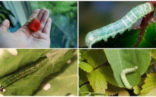 Làm thế nào để thoát khỏi sâu bướm trên dâu tây