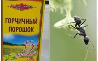 Mù tạt bột từ kiến và rệp trong vườn