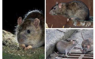 Chuột xám