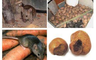 Cách đưa chuột ra khỏi hầm
